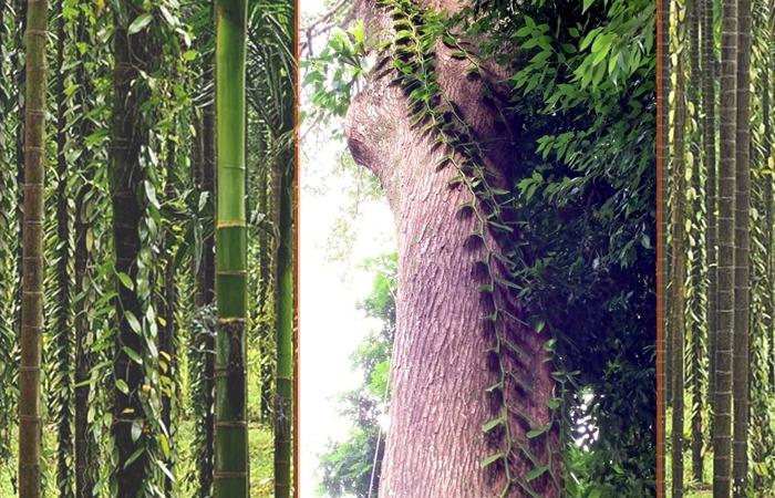 사진: 자연의 바닐라는 나무를 타고 자라는데, 산업화하며 대나무 등에서 대량 번식 시킨다. [바닐라향, 바닐라 맛, 바닐라빈 열매]