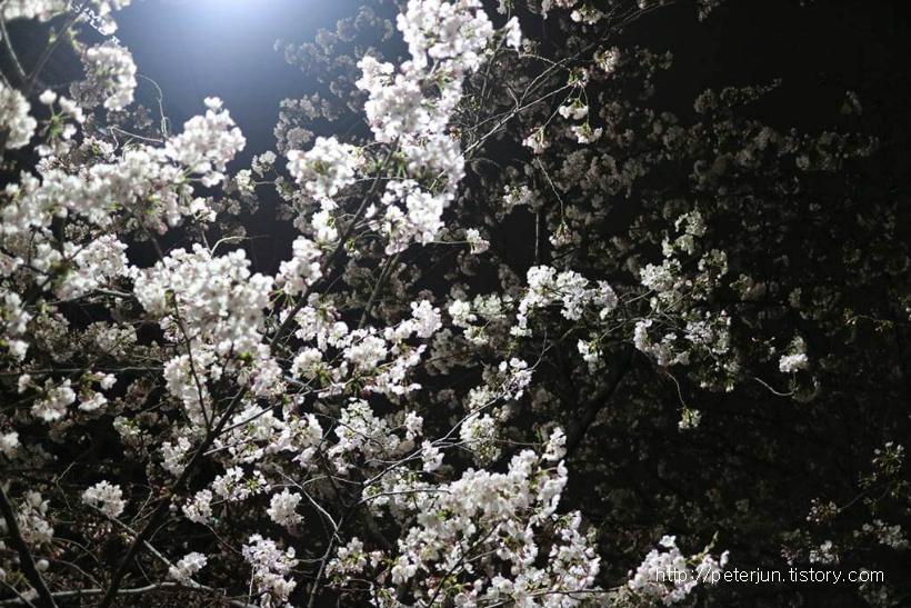 밤에도 아름다운 왕벚나무