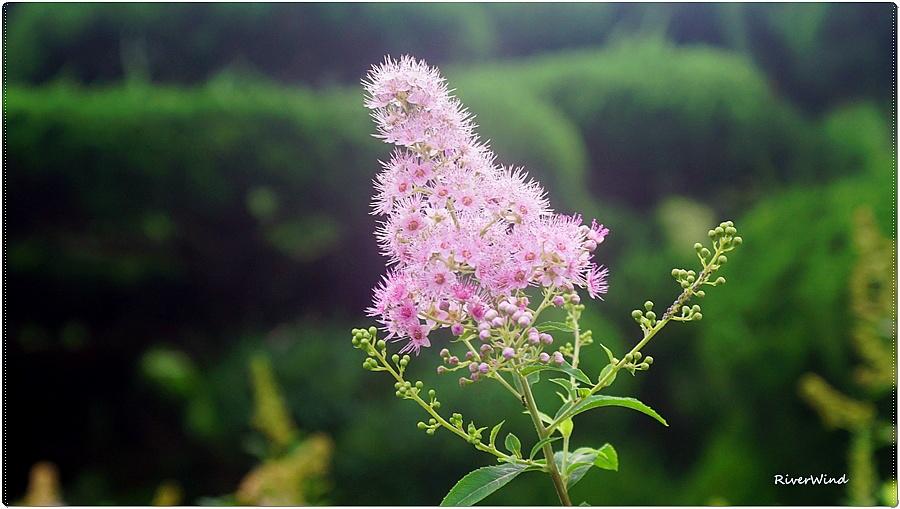 꼬리조팝나무(꽃) Spiraea salicitolia
