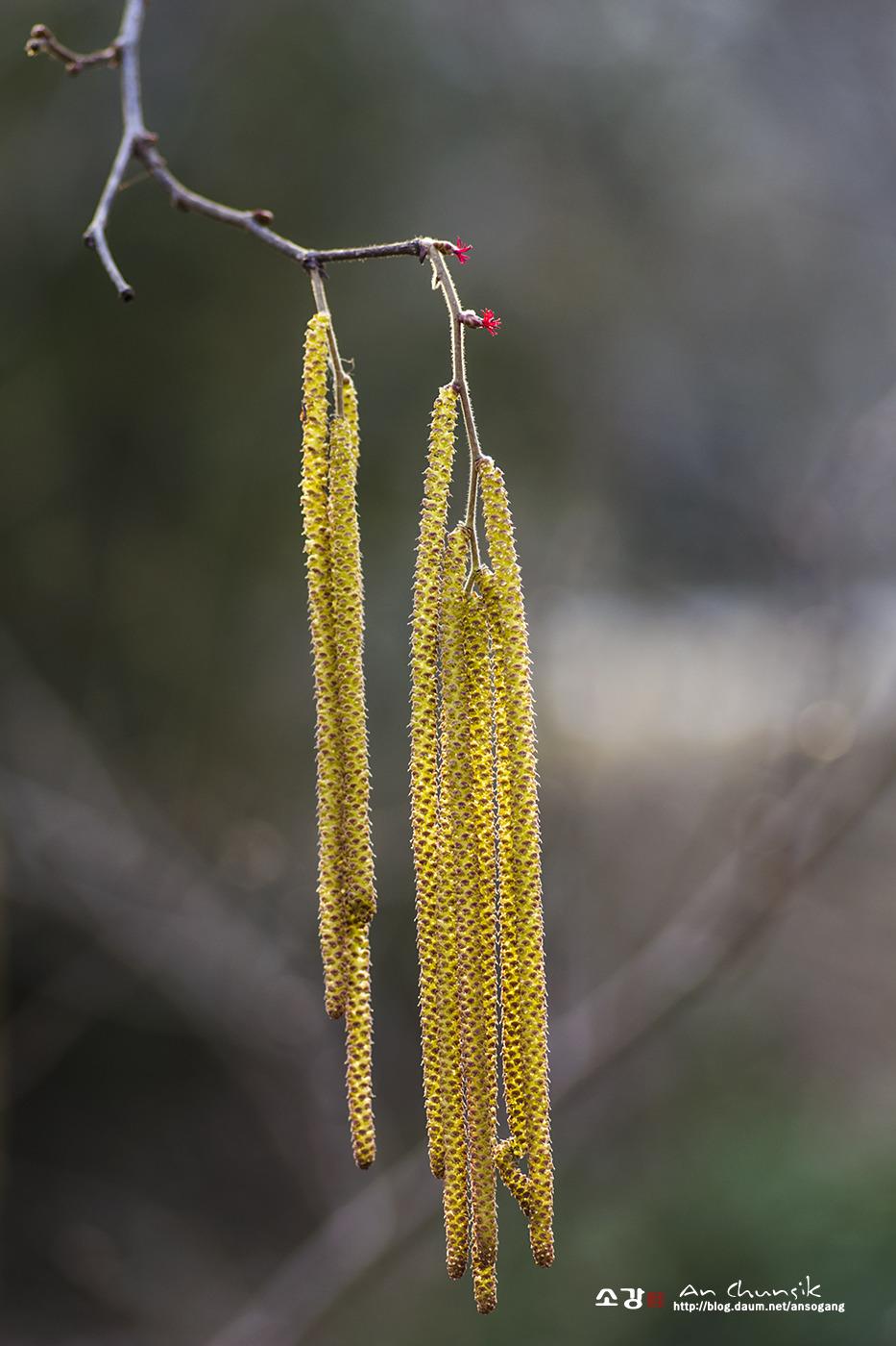 개암나무꽃
