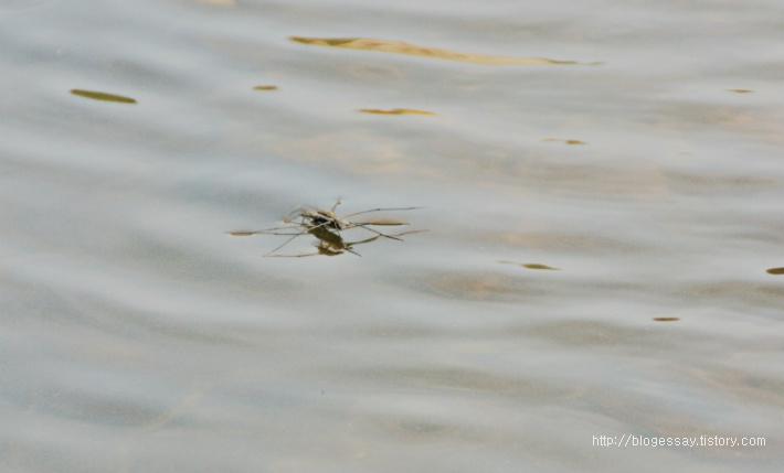 물위를 걸어 다니는 소금쟁이 Water strider