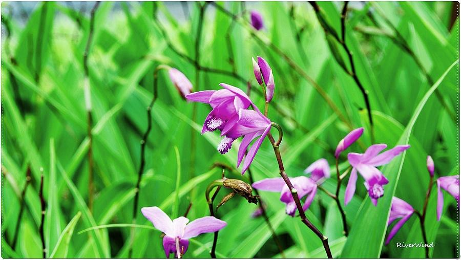 자란(紫蘭),백급(白及)