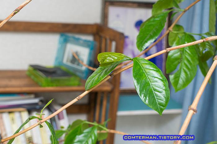 커피나무 새 잎과 가지